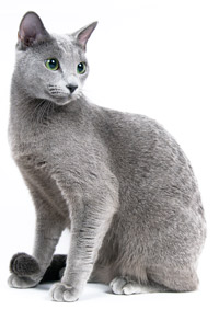 russian-blue-aricle-white